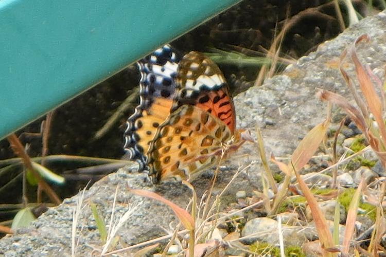 謎のレア蝶(その1)
