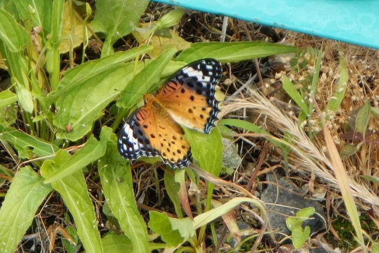 謎のレア蝶(その2)