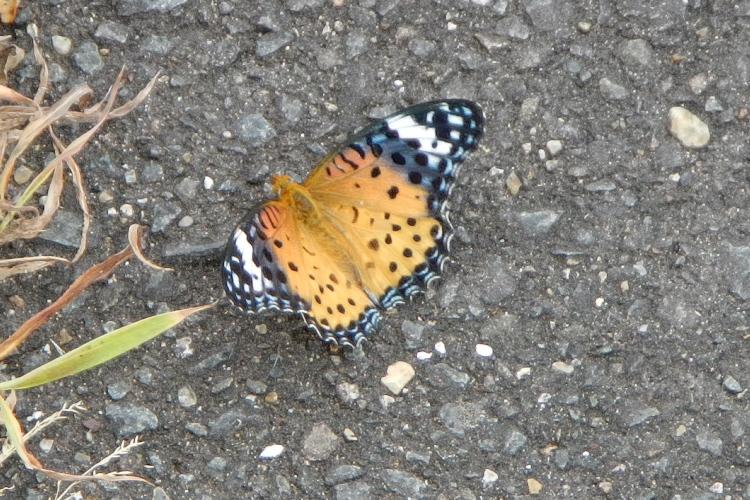 謎のレア蝶(その3)